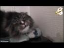 Поющий кот Миша. Поступила команда - Миша давай, и Миша дал
