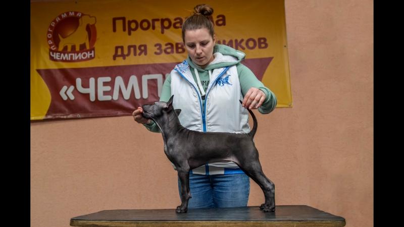 Thai Ridgeback Puppy ❤ Тайский риджбек щенок ❤ Luthien Bella et Tar-menel ❤ Девочка продается ❤ Female for Sale