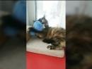 VAAL CAT HONEY 4 месяца