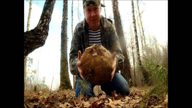 Лангерманния гигантская - огромный съедобный гриб, дождевик