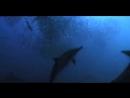 Дельфины и как они охотятся