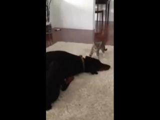 Котейка играет с доберманом