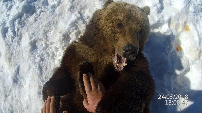 Как осмотреть зубы у медведя?