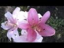 Лилии на даче