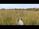 Охота на пернатую дичь с легавыми. Тверская область