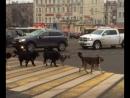 Когда Животные умнее многих людей или Правильные пешеходы ...