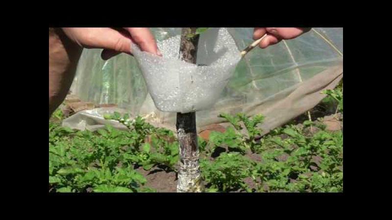 Два вида конуса (ловчего пояса) для борьбы с муравьями и тлей на плодовых деревьях