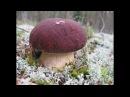 Собираю грибы, белые и красноголовики Вагайский район