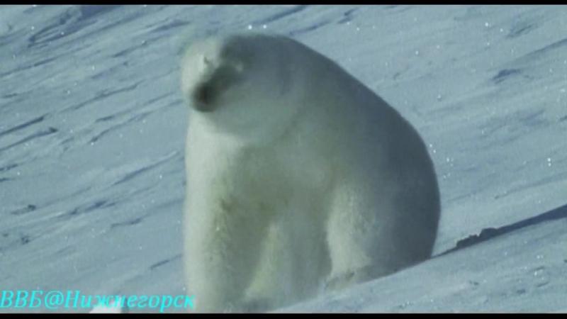 Ребятам о зверятах - Медвежонок Перси (Документальный)