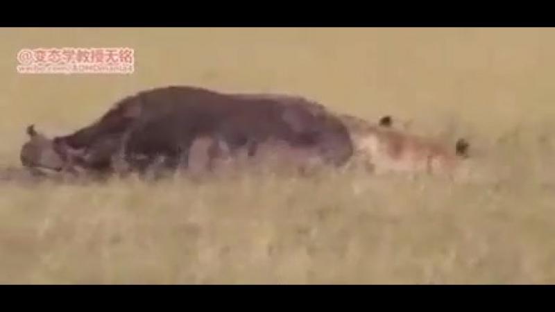 Гиена оторвала буйволу яйца.