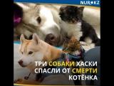Три собаки хаски спасли от смерти котёнка: теперь взрослая кошка их лучший друг