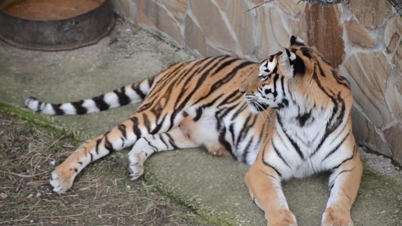 ПОЗНОВАТЕЛЬНОЕ ВИДЕО . Тигрица кормит только самого слабого тигренка. Тайган .Крым
