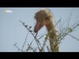 📺Что посмотреть📺Жизнь африканского страуса. Документальный фильм.
