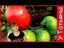 Как ускорить созревание ТОМАТОВ помидор