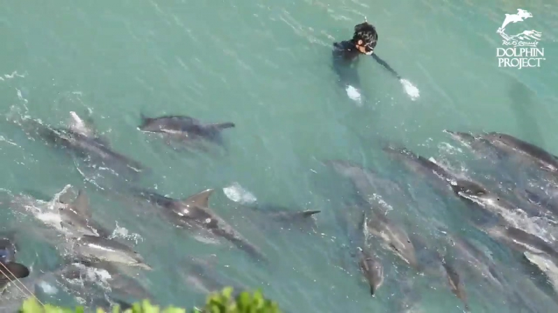 Multiple species driven into The Cove, including 1st pod of rough-toothed dolphins. Full update to follow