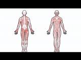 Как работает наша мышечная система?