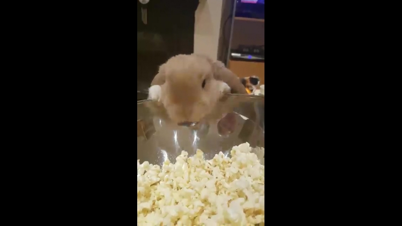 This rabbit is obsessed with popcorn 😂