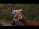 Детёныш красной панды ...