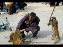 Funny Videos Of Bad Monkey Doing Stupid Things   Hiu Hiu TV
