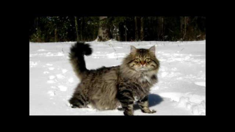 Порода кошек. Сибирская кошка.Старинная порода.Произошла несколько столетий на ...