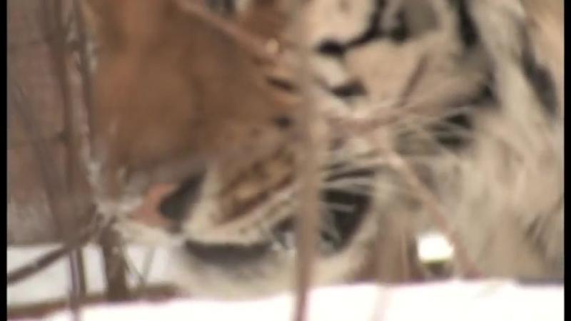 (7) Амурский тигр в третьем тысячелетии - YouTube (online-video-cutter.com)