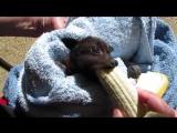 Лисичка кушает банан