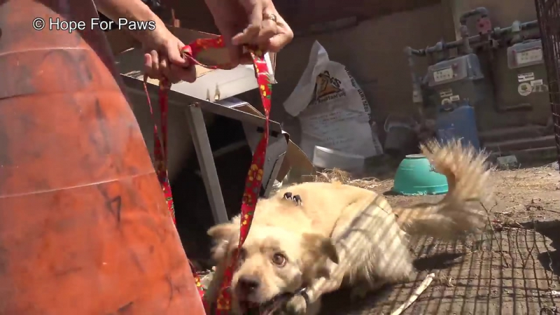 Abandoned dog survives for months from scraps left by neighbors until Hope For P