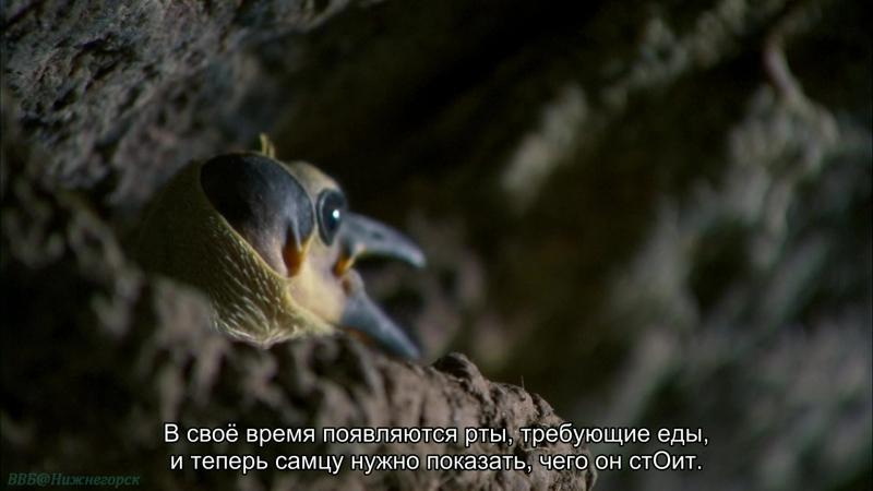 BBC «Африка (3). Конго» (Познавательный, природа, животные, 2013)