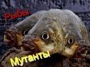 Рыбы мутанты ( видео зарисовка )