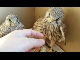 Сокол пустельга. Реабилитация птиц. Falcon of the Kestrel. Rehabilitation of birds.