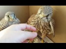 Сокол пустельга Реабилитация птиц Falcon of the Kestrel Rehabilitation of birds