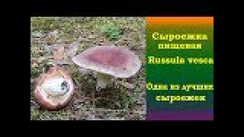 Сыроежка пищевая ( Russula vesca) - Одна из лучших сыроежек