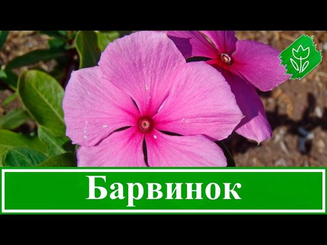 Цветок барвинок посадка и уход выращивание барвинка из семян