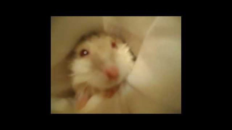 Хомяк После ДушаHamster After Shower