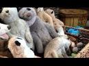 Sleepy Meerkat Amongst Friends