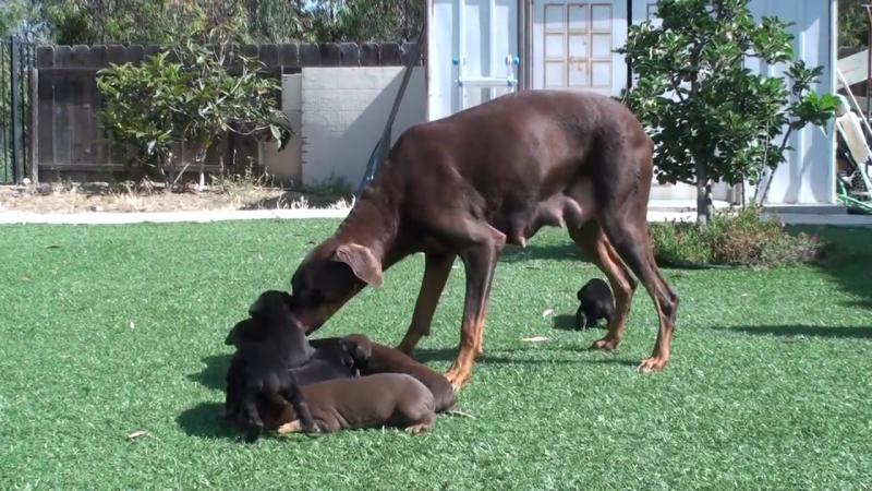Собачья я же мать!