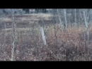 Отважный вонючка-скунс