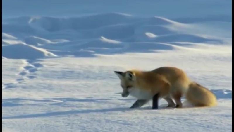 Лиса охотится на мышей зимой в снегу ...