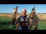 ОХОТА НА УТКУ с ягдтерьером. Кряквы на пшеничном поле. Duck hunting 2017