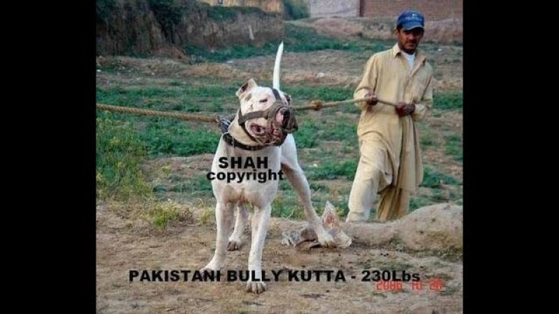 Bully Kutta Dogs Real Fighters