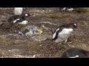 пингвин срет на пингвина