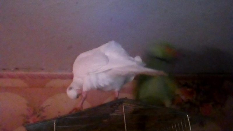 Индийский кольчатый попугай и горлица