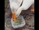Ducks are Crazy