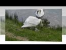 лебединые песни верности