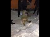 В Норильске полиция застрелила «лютоволка», который нападал на людей в центре города.