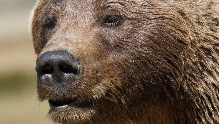 Томич продаёт в интернете бурого медведя и экзотическую кошку за 1,4 млн.рублей