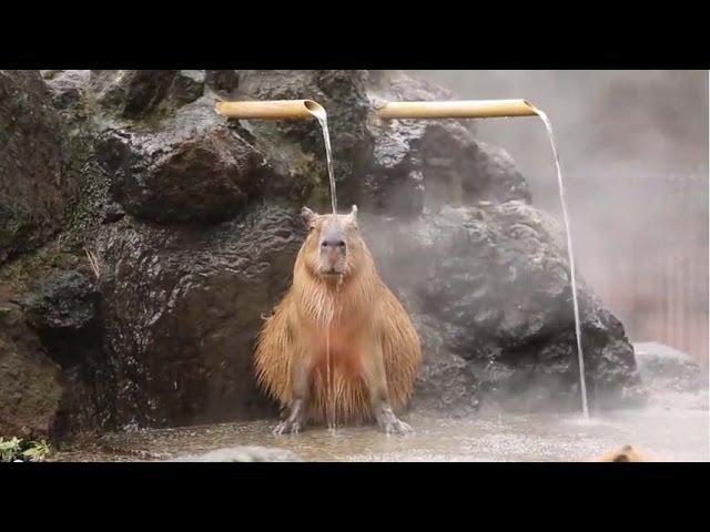 Capybaras love hot baths