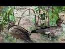 The Best Birds Trap in Cambodia - Amazing Bird Trap - Amazing Quick Wild Duck Trap in My Village