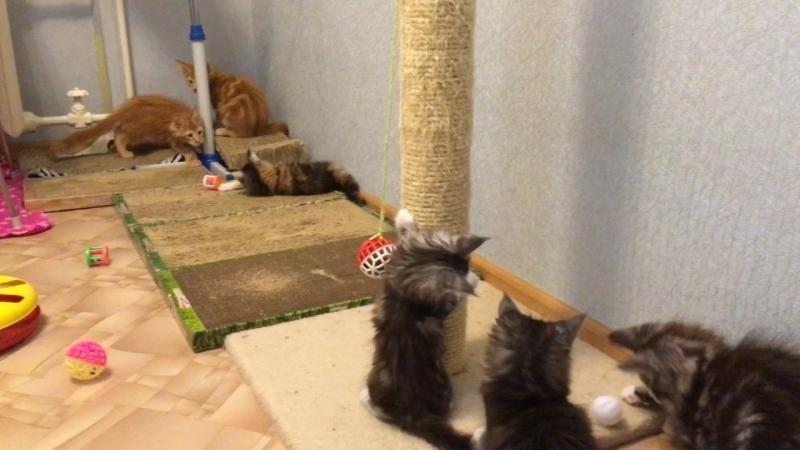 Будни питомника Acadia Maine. По вопросу приобретения котят породы мейнкун пишите в личку или звоните 8-927-604-52-76