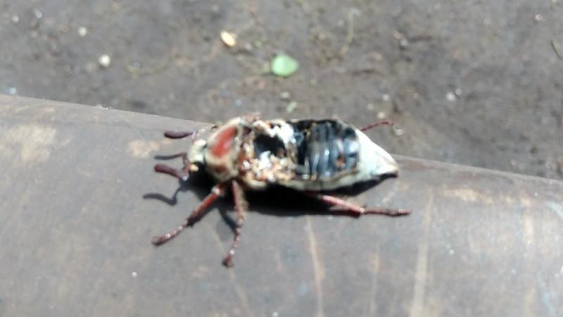 Живучий майский жук.Работа мозга.